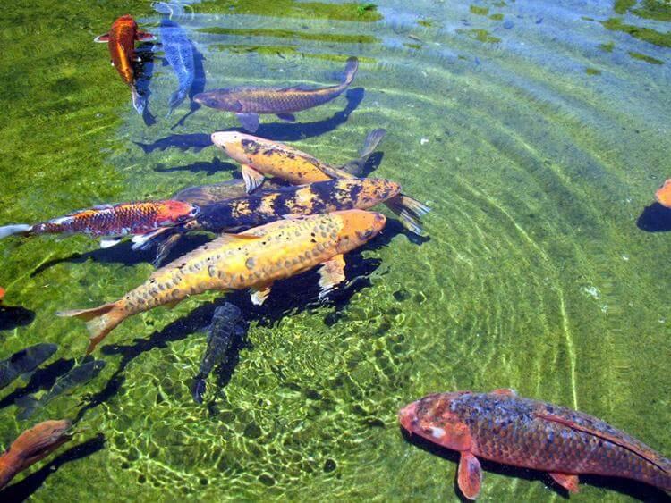 пруд для рыбы в спб